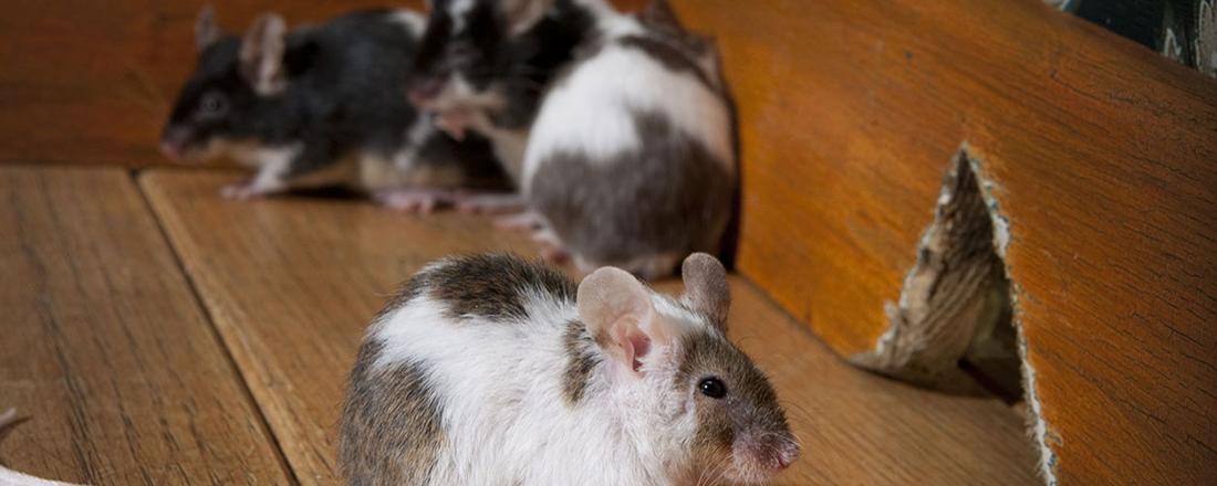 honest broker rodents in your rental
